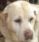 BELLE (femelle Labrador de 14 ANS)