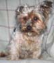 CHARLEY (mâle Yorkshire de 11 ANS 1/2) - ADOPTE -