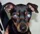 LUMINUS (mâle Pinscher nain de 6 ANS, aveugle) - ADOPTE -