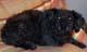 OSCAR (mâle griffon de 14 ANS) - ADOPTE -