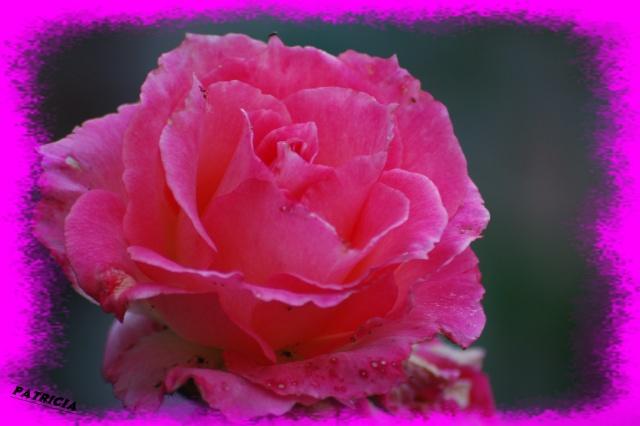 rose210