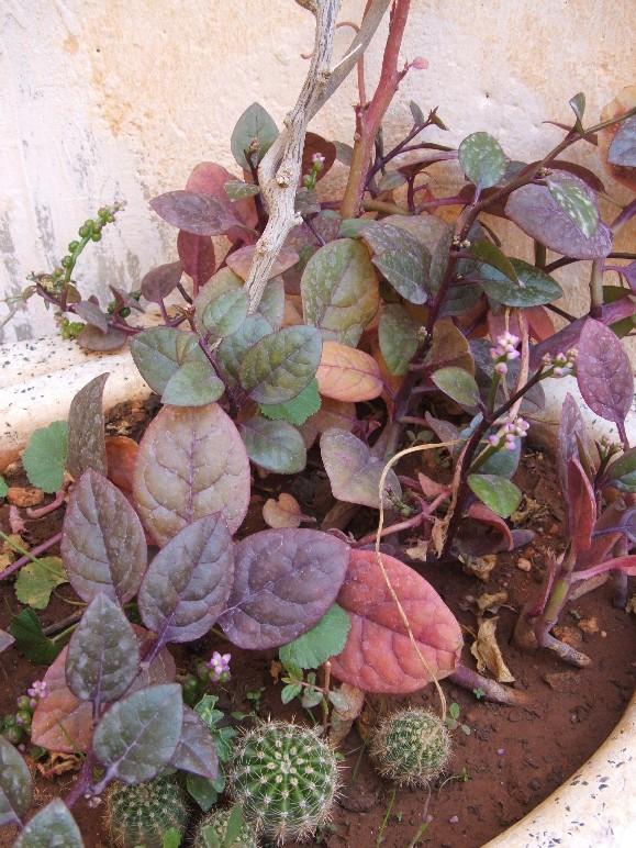 Plante grasse grimpante au jardin forum de jardinage for Plante grasse jardin