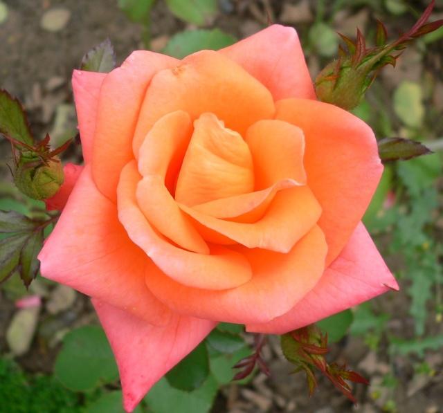 rose_o10.jpg