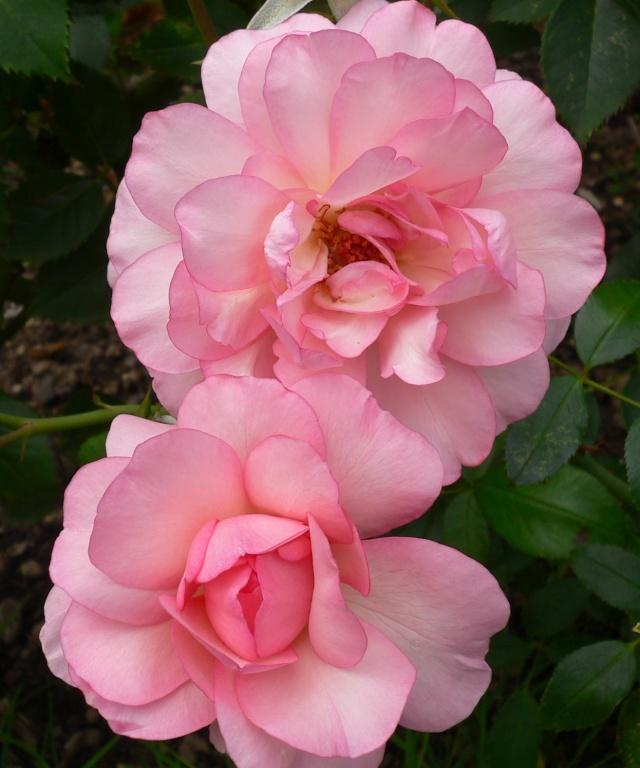 rose_p10.jpg