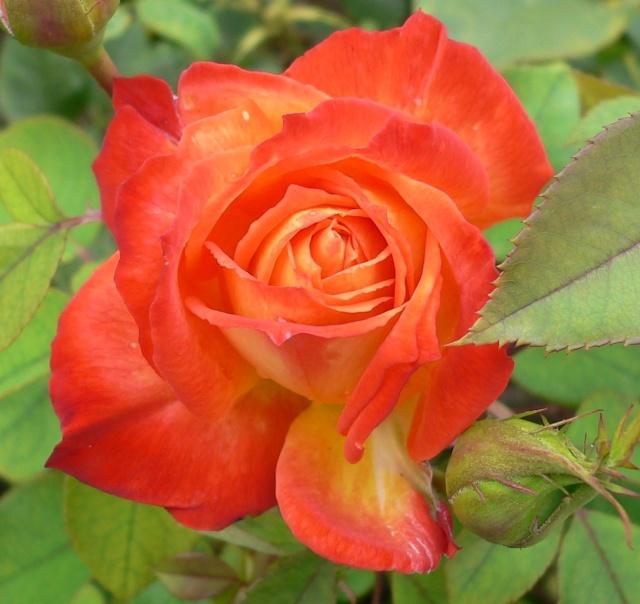 rose_r10.jpg