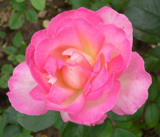 rose_r11.jpg