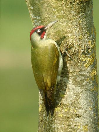 Oiseau vert et rouge for Oiseau vert et rouge