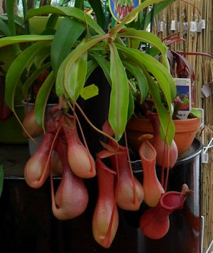 plante carnivore chez jardiland