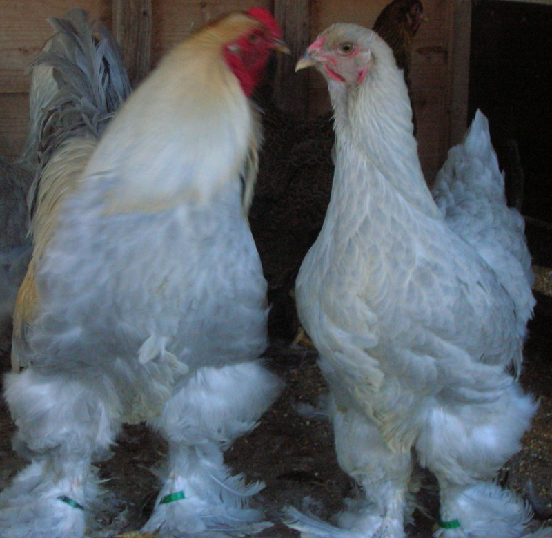 poule brahma isabelle a vendre