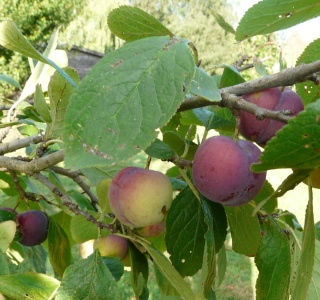 Les fruits de l'été dans LES 4 SAISONS p1220014