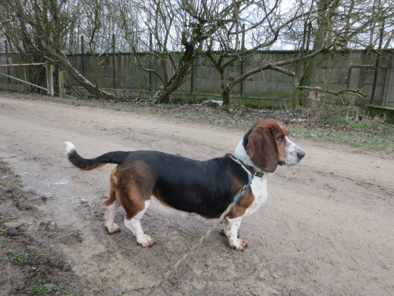 Happy femelle basset hound et son pote au refuge du mordant - Petit basset hound angers ...
