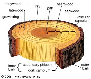 wood structure diagram structure diagram of animal cell