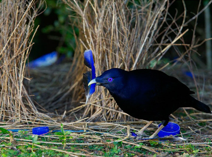 L 39 oiseau satin jardinier satin for L oiseau jardinier