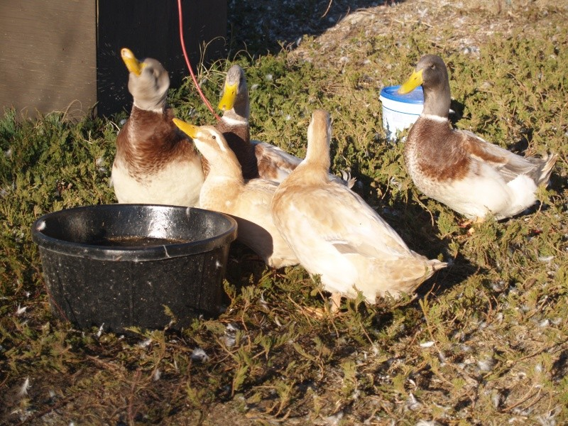 Waterfowl for Sale
