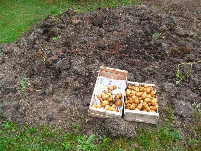 Des petites pommes de terre - Date plantation pomme de terre ...