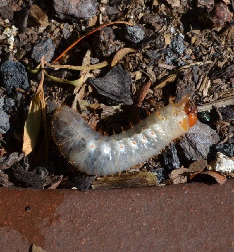 how to kill grubs in soil