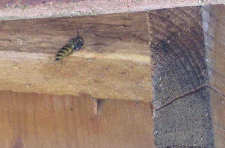 Frelon nid maison ventana blog - Comment detruire un nid de guepes sous les tuiles ...